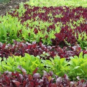 Am Braigh Farm - Beds of Salad Greens