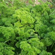 Am Braigh Farm - Parsley