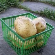 Am Braigh Farm - Potatoes