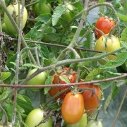Am Braigh Farm - Roma Tomatoes
