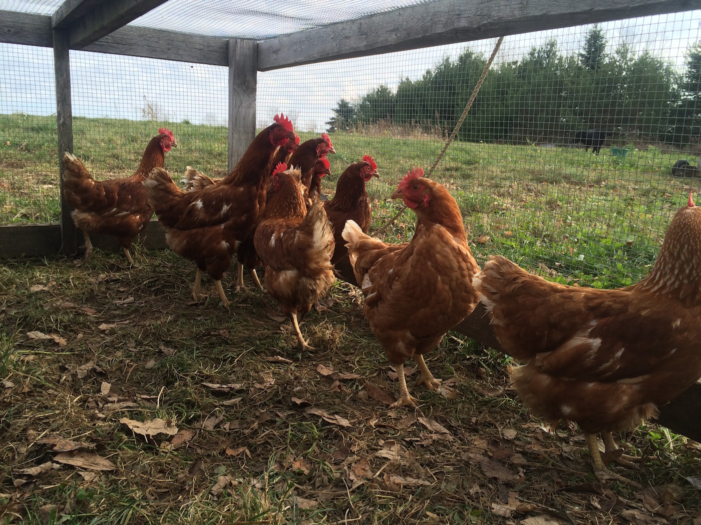 chickens in tractor