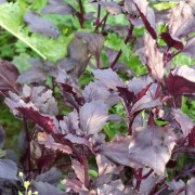 Am Braigh Farm - Red Rubin Basil
