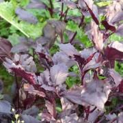 Am Braigh Farm - Red Rubin Basil